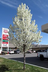 Tree in blossom on Parrish Lane, Centerville, Utah (5of7) Tags: flowers sky plants plant mountains nature clouds rural utah spring exposure blossoms naturallight bluesky nopeople gasstation serene i15 phillips66 interstate15 daviscounty 10views centervilleutah