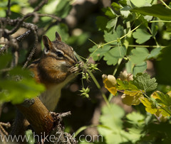 "Chipmunk eating Western Meadowrue • <a style=""font-size:0.8em;"" href=""http://www.flickr.com/photos/63501323@N07/6939665514/"" target=""_blank"">View on Flickr</a>"