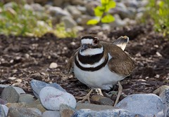 12-04-20-26153 (dayvid42) Tags: bird killdeer legup