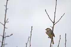 (sgtsalamander) Tags: cambridge sky tree bird nikon north sparrow twig nikkor dumfries songsparrow melospizamelodia passerine 300f4 d7000 rarecharitableresearchreserve