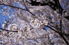IMGP6872 (Amad) Tags: flower japan spring   sakura kiryu