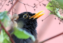 Blackbird's Evening Song (Judy's Wildlife Garden) Tags: judykennett knightonpowys blackbirdseveningsong