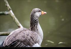 120506_0420 (John P Norton) Tags: bird fauna goose f28 70200mm aperturepriority canoneos1dmarkiii 1400sec copyright2012johnnorton focallength178mm