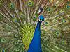 Indian Peafowl (Andy von der Wurm) Tags: blue portrait bird nature animal closeup fauna germany deutschland colorful peacock balticsea alemania rooster blau allemagne ostsee soe farbig bunt nahaufnahme tier vogel holstein eastsea hahn bleau schleswig indianpeafowl vogelpark ostholstein natureplus hobbyphotograph mywinners niendorfer blauerpfau pfauenaugen platinumfoto damniwishidtakenthat fasanenartige ringexcellence andreasfucke asiatischerpfauen
