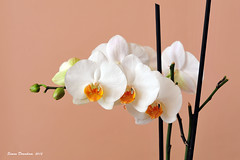 Luxury Orchid (Simon Downham) Tags: flowers orange white orchid flower green japan tangerine logo japanese design dc nikon pattern orchids display pastel chinese decoration peach style icon card chopsticks bloom buds pearl greetings bud lime oriental nikkor luxury stylish classy 135mm avantgarde anniversarypresent d700 luxuryorchid dsc2743ax