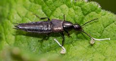 IMG_0198 Rove Beetle sp (poss Philonthus varians), Elmdon Manor, Warwickshire W T Reserve, 25 June 2012 (Lathers) Tags: warwickshire rovebeetle canon7d warwickshirewildlifetrust canonef100f28lisusm wkwt 25june12 possphilonthusvarians
