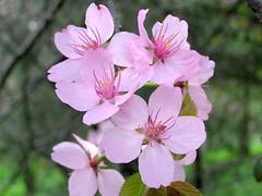 Prunus sargentii Rehder 1908 (ROSACEAE) (helicongus) Tags: spain prunus cerasus rosaceae prunussargentii cerasussargentii jardnbotnicodeiturraran