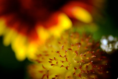 Gaillardia Flowers (karen and mc) Tags: flowers macro gaillardia gardenisland summerrs karenandmc gaillardiaflowers
