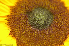 Sunflower Macro (annelienvdheide) Tags: macro pentax sunflower zonnebloem extensiontubes k100d takumarazoom2880mm