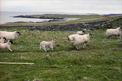 More bolting sheep (Adam Chin) Tags: scotland zeissikon sanaigmore isleofislay kodakportra160 zeissbiogon35mm20