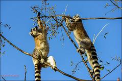 ring-tailed lemur, lemur catta, anja (hakoar) Tags: life africa portrait tree eye nature look lines animal closeup fauna fur mammal climb couple colorful pattern looking stripes wildlife tail leg group mg eat lemur balance feed madagascar anja primates ringtailedlemur isalo omnivorous lemurcatta diurnal lemuridae