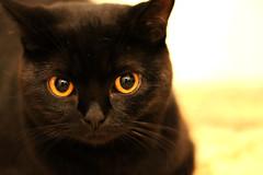 226/366 - 13/08/12 (oana-emilia) Tags: wild black cat blackcat bigeyes kitten side luna cutecat britishshorthair odc badluck wearehere wildside werehere 365project onthewildside shuttersister ourdailychallenge 3652012 shuttersister365 hereios 365the2012edition