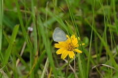 Barred Yellow Sulphur 072712.jpg (larrysfl) Tags: unitedstates florida butterflies insects northlauderdale barredyellow euremadaira