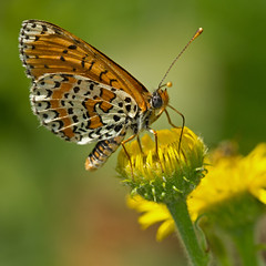 Mlite orange (Melitaea didyma) Red-band Fritillary (Sinkha63) Tags: france macro nature animal butterfly wildlife lepidoptera papillon martel fritillary nymphalidae midipyrnes spottedfritillary pulicariadysenterica commonfleabane melitaeinae melitaeadidyma melitaea mlite pulicaria melitaeini didymaeformiadidyma mliteorange redbandfritillary pulicairedysentrique pulicaire rememberthatmomentlevel4 rememberthatmomentlevel1 rememberthatmomentlevel2 rememberthatmomentlevel3 rememberthatmomentlevel5