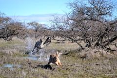 Caza con Galgos (angellabra) Tags: perros animales caza conejos galgos cauquenes liebres
