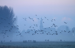 Haastrecht (Pepijn Hof) Tags: morning mist holland nature dutch field birds fog sunrise canon landscape horizon flight nederland vogels natuur 7d fields polder kerk hollands vogel ochtend landschap zuidholland sfeer 300mmf4 haastrecht vlist southholland polderlandschap