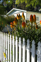 Red hot pokers (Home Land & Sea) Tags: newzealand white fence nz napier pointshoot sonycybershot picket hawkesbay kniphofia redhotpokers hff explored dsch3 fencedfriday homelandsea