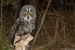 Great Grey Owl II (martinaschneider) Tags: bird spring greatgreyowl raptor owl birdsofprey birdofprey canadianraptorconservancy raymondbarlowphotographyworkshop vittoriaon