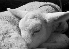Sleeping beauty... (michelledehaas) Tags: sheep sleep lamb