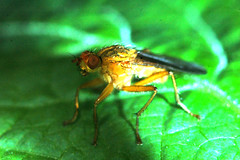 Yellow dung fly (a) (Procrustes2007) Tags: uk england yellow suffolk britain wildlife flash nikond50 sudbury diptera dungfly wildlifephotography tamron2xteleconverter nikkor50mmais vivitarextensionrings68mmtotal scathphagastercoraria