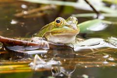 Frog (RunningRalph) Tags: nature nederland frog kikker gelderland waardenburg tbroek enspijk