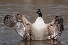 Bernache du Canada, Canada goose (boisvertvert1) Tags: canada bird birds fauna canon eau wildlife birding qubec laval qc canadagoose oiseaux ailes faune 70d bernacheducanada ef300mmf4lisusm dploiement canon70d