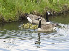 Dat zijn er zes.... (Dimormar!) Tags: geese spring ganzen lente poortugaal voorjaar jonkies brandgans zalmplaat