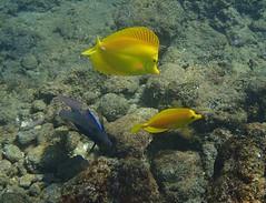 yellow tang (Skeptic14) Tags: yellow tang blackrock