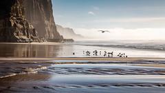 Fresh and Salt (Kirk Lougheed) Tags: ocean california sea cliff usa seascape bird water creek landscape coast stream unitedstates pacific outdoor seagull gull shoreline pacificocean shore bluff pomponio sanmateocounty pomponiobeach pomponiostatebeach pomponiocreek