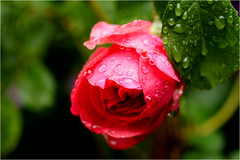 rain today........... (atsjebosma) Tags: red macro rain rose garden drops ngc may nederland thenetherlands roos raindrops mei tuin groningen rood bloem 2016 druppels regendruppels atsjebosma