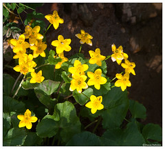 Caltha Palustris (Duncan Darbishire) Tags: cumbria wildflower marshmarigold calthapalustris kingcup