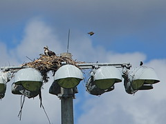 Osprey shares nest with starlings 20160527 (Kenneth Cole Schneider) Tags: florida miramar westbrowardwca