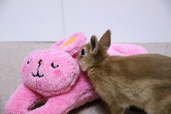 Ichigo san (mensore) Tags: family pet brown cute rabbit bunny ichigo  netherlanddwarf san
