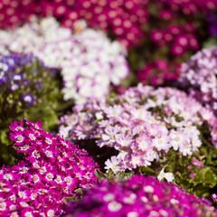 Spring In The Square (TablinumCarlson) Tags: leica flowers portugal square faro spring europa europe dof blumen atlantic m lila explore summicron m8 algarve 90mm tavira frhling kste atlantik quadrat gilo explored