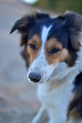 DSC_1740T (juliannahiaasen) Tags: portrait dog pet dogs animal training photography bordercollie australianshepherd dogphotography dogtraining dogportrait dogphotographer