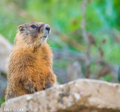 marmots mother's day (cuddleupcrafts) Tags: animals utah image wildlife marmots