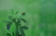 Bug's World - Qatar (zai Qtr) Tags: nature bug nikon doha qatar salwa zaiqtr lenshelios582m424 irkayanaturalfarm