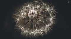 Going Bald (Augmented Reality Images (Getty Contributor)) Tags: 11 bokeh canon dandelion flower fruit macro nature perthshire scotland seed soft spikey spring