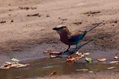 Gabelracke (Coracias caudatus) - Chobe Nationalpark, Botswana (Nov. 2015) (anschieber | niadahoam.de) Tags: botswana 2015 lilacbreastedroller chobenationalpark gewonetroupant afrikaafrica 201511 gabelrackecoraciascaudatus namibia2015 20151117