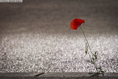 Nature vs. People 1:0 (gaboracing) Tags: people flower nature canon spring sidewalk 7d poppy vs survival trottoir frhling acera pavot mohn gehweg amapola supervivencia berleben survie