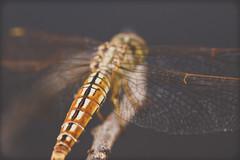 Abstract (BALAJI SEETHARAMAN) Tags: macro canon fly dragonfly chennai reversering canon600d macro2016