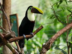 P1130519 (lychee_vanilla) Tags: bird animal garden toucan costarica lapaz tier waterfallgarden tucn blackmandibledtoucan ramphastosambiguus vigel quioro tucnpiconegro