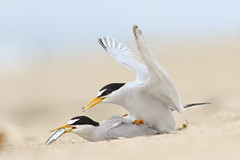 Least Tern Courting/Mating Series 2/10 (bmse) Tags: food fish beach canon mating l ritual f56 least tern exchange salah 400mm wingsinmotion 7d2 hunntington bmse baazizi