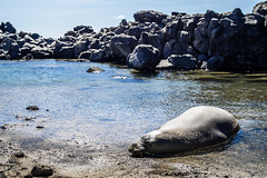 Sleeping Seal (Distinct.Origin) Tags: new blue sky beach water rock canon hawaii sand oahu sleep hike seal newbie dslr