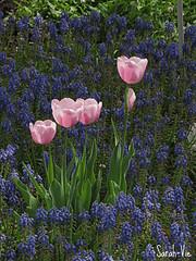 (Sarah-Vie) Tags: fleurs printemps tulipes img0440