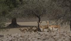 Black Buck (Afaque's Photography) Tags: pakistan wild animal deer antelope sindh blackbuck khairpur nikonflickraward mehrano