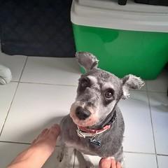 """Olha s o olhar deste """"serhumaninho"""" logo cedo. #bebnolazarento #pet #instapet #dog #instadog #manh #morning (NelsonBritoJr) Tags: ifttt instagram nelson brito jr   fotografia pet cachorro co srd companheiro"""