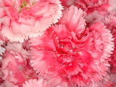 Variegated Pink Carnations (An Old Barbie Doll) Tags: 149365