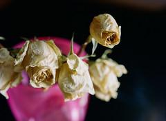 (DL Rohrer) Tags: mamiya 645 pro tl 400 film flower kodak macro pink portra vase dead beleiveinfilm mamiya645protl