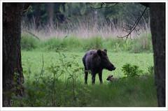 family (erikoo) Tags: wild pig boar piglet wildzwijn zwijn zwijntje nature wildlife parkdehogeveluwe natuur veluwe zwijnen